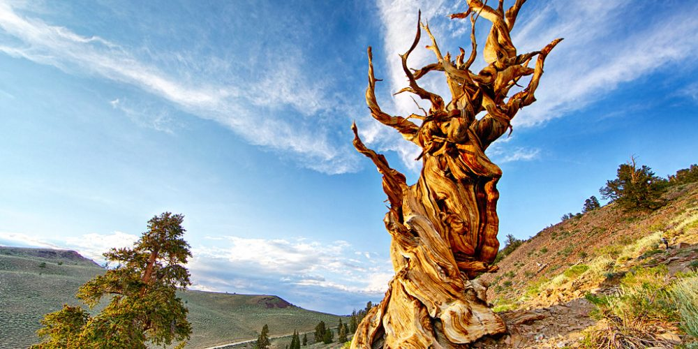 10 Oldest Trees on Earth Many of Which Are Over 4,000 Years Old